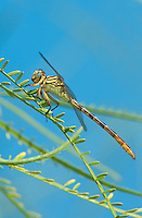 334090007 a wild female russet-tipped clubtail stylurus plagiatus perches on a plant in the lower rio grande valley near the naba facility in south texas
