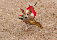 Jack Russell dog with a toy, CLA Game Fair.