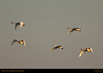 Tundra Swans, Sunset Flight, Whistling Swan, Lodi, California