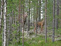 Elch, Kuh, Muttertier mit Kalb, Jungtier, Alces alces, Elk, Elan