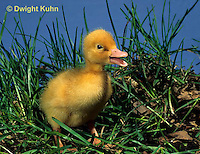 DG07-014z  Pekin Duck - two day old duckling exploring and chirping for mother
