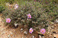 Cistus parviflorus on wasteground on the outskirts of Istanbul, Turkey