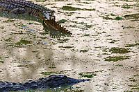 africa, Zambia, South Luangwa National Park,  Crocoliles rest in Luwanga river