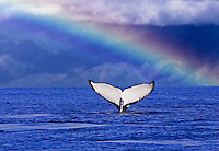 A very white whale tail with a rainbow and the island of Molokai in the background.