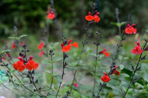 Salvia 'Royal Bumble'
