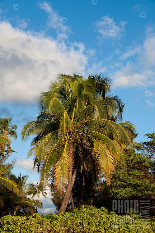 Palm tree laden with coconuts on a sunny day, south shore, Kauai.