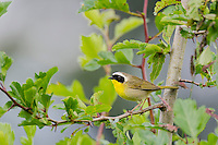 Common Yellowthroat male (Geothlypis trichas).  Western U.S., spring.
