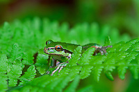Pacific Tree Frog (Pseudacris regilla) sitting on bracken fern.  Pacific Northwest.  May.