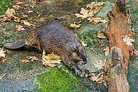 American Beaver (Castor canadensis) walking across large rock near pond.  Pacific Northwest.  Fall.