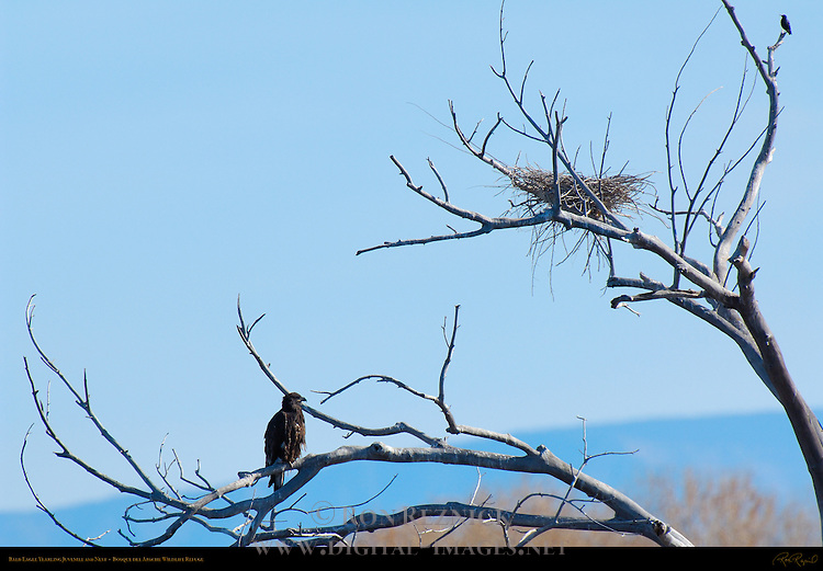 Bald Eagle Yearling Juvenile and Nest, Bosque del Apache Wildlife Refuge, New Mexico