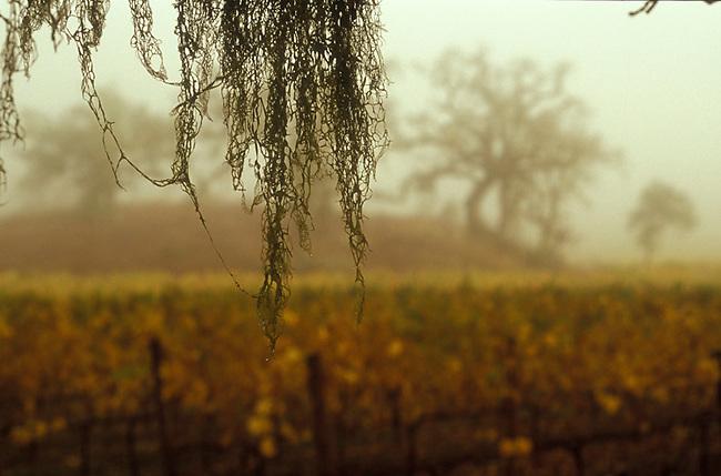 Winter vineyards scene in Napa Valley