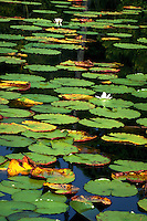 Lily pads with white flowers in Choctawacthee Bay. Destin, Florida.