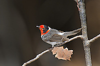 5923070001 a wild male red-faced warbler cardellina rubrifrons perches on a small plant stem on mount lemmon near tucson arizona united states