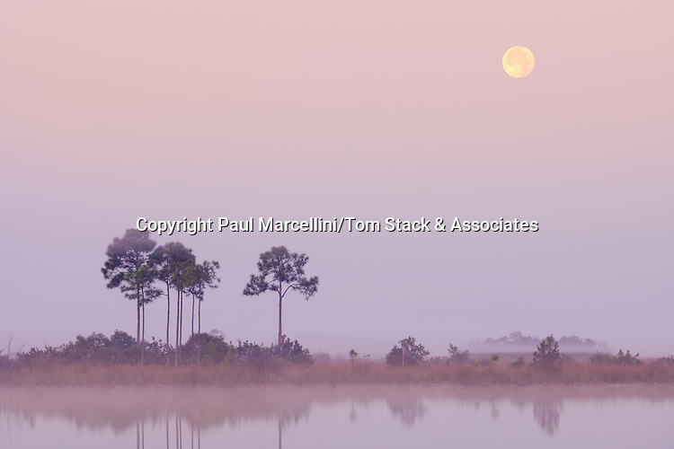 South Florida Slash Pines, Pinus elliotti, Everglades National Park