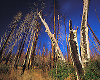Forest-fire damage to trees and undergrowth, Yosemite Valley National Park, California, US