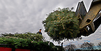 Christmas trees are loaded onto a truck to be recycled at the end of the Christmas tree season.