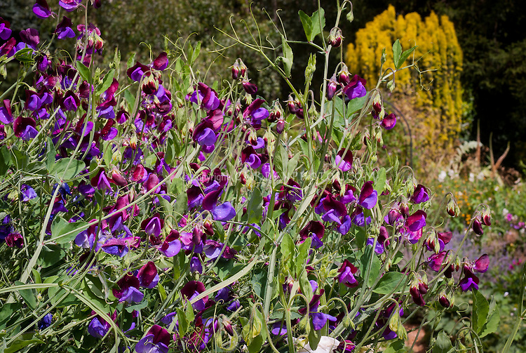Lathyrus Matucana aka, aka Cupani, grandiflora old-fashioned heirloom sweet peas in bicolor, maroon standards with blue purple falls