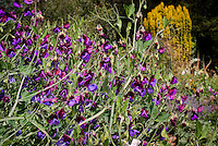 Lathyrus Matucana aka, aka Cupani, grandiflora old-fashioned heirloom sweet peas in bicolor, maroon standards with blue purple falls
