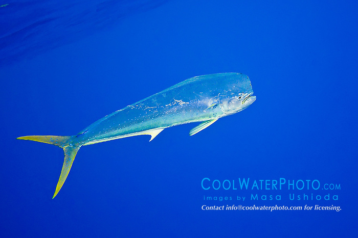 mahi-mahi, dorado, or common dolphin-fish, Coryphaena hippurus, adult bull free swimming, Kona Coast, Big Island, Hawaii, USA, Pacific Ocean