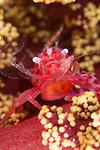 Haig's Porcelain Crab, Porcellanella haigae