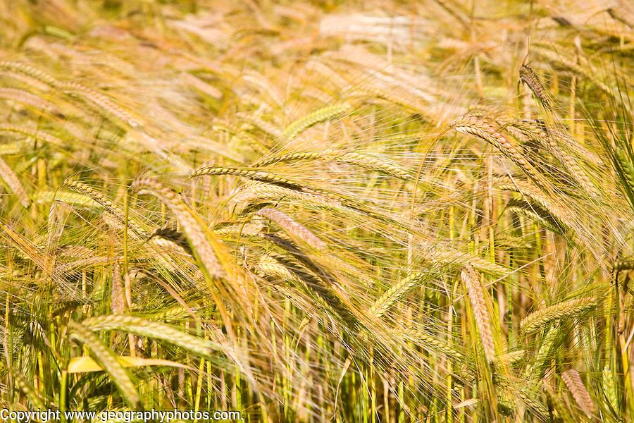 Field of golden barley in summer, Shottisham, Suffolk, England