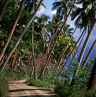 Curving trail through tall palms, Fiji Islands, South Pacific.