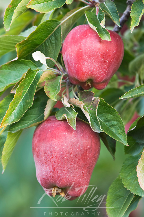 USA, WA, Lake Chelan, Red Delicious Apples Ripe for Harvest (Selective Focus)