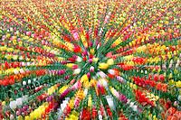 Zoomed in tulips. Wooden Shoe Tulip Farm. Woodburn. Oregon