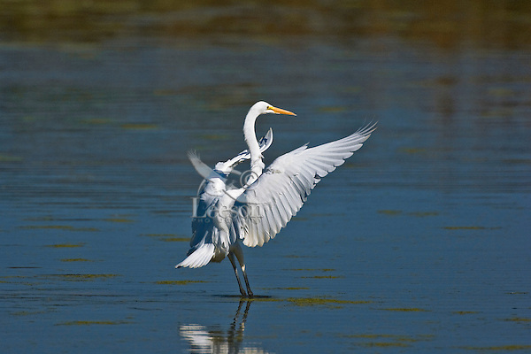 Great Egret (Ardea albus) landing in marsh, mid-September, Point Pelee National Park, southwestern Ontario, Canada.