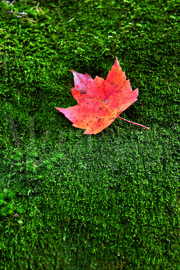 Red maple leaf on a bed of green moss.