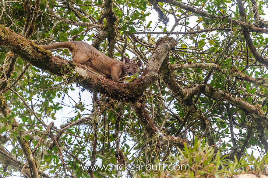 Male Fosa (Cryptoprocta ferox) (sometimes incorrectly Fossa) climbing favoured 'mating tree' where female is waiting in canopy. Mid-alitude rainforest, Andasibe-Mantadia National Park, eastern Madagascar. IUCN Endangered.