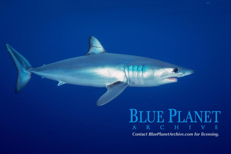 shortfin mako shark, Isurus oxyrinchus, San Diego, California, East Pacific Ocean