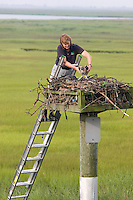 Biologist banding Osprey; Pandion haliaetus; Kathy Clark; NJ Fish & Wildlife; NJ; Cape May Co.