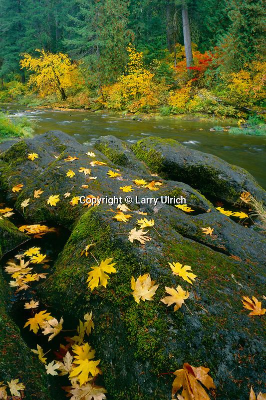 Bigleaf and vine maples<br /> South Umpqua River<br /> Umpqua National Forest<br /> Cascade Range,  Oregon