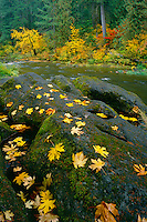 Bigleaf and vine maples<br />