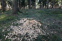 Schwarzspecht, Schwarz-Specht, Spuren, Spur der Nahrungssuche, Specht hat Baumstubben zerhackt bei der Suche nach Insekten, Tierspur, Dryocopus martius, Black Woodpecker, Pic noir
