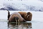 Norway, Svalbard, walruses on fjord ice, Odobenus rosmarus