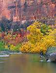 Zion National Park, UT<br /> The North Fork Virgin River flows beneath a velvet ash tree in fall near Big Bend in Zion Canyon