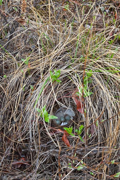 American tree sparrow nest, National Petroleum Reserve, Alaska.