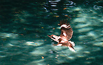 Kookaburra over green water, Brisbane, Australia.   //   Kookaburra - Halcyonidae: Dacelo novaeguineae (=gigas). Length to 45cm, wingspan to 80cm, weight to 350g. Found throughout the woodlands of Australia, in the east from Cape York to eastern South Australia, plus Tasmania; in the south-west, introduced 1898 at Perth and now found from Geraldton in mid-west to Esperance in south-east. Introduced also to Flinders Island (Tas), Kangaroo Island (SA) and New Zealand. Carnivorous - eating any animal small enough for it to swallow whole, including insects, worms, vertebrates (lizards, mice, snakes). Territorial. Nests in a tree hollow, naked chicks. In urban areas will take food from people's hands - adapt at catching morsels in flight. Audacious - often known to snatch food from plates in front of people dining outdoors. IUCN Status: Least Concern.   //Eric Lindgren//