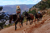 A guide leads a mule team  on the South Kaibab Trail in the Grand Canyon.