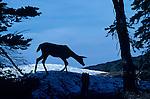 Deer silhouetted along ridge on Hurricane Ridge on the Olympic Penninsula Washington State USA