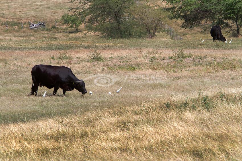 Groups of Garcillas Bueyeras, Garza Ganadera o Garza Boyera (Bubulcus ibis) by<br /> the livestock pastures of Cabo Rojo, Puerto RIco.