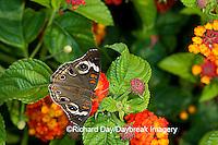 03411-011.05 Common Buckeye (Junonia coenia) on Red Spread Lantana (Lantana camara)  Marion Co. IL