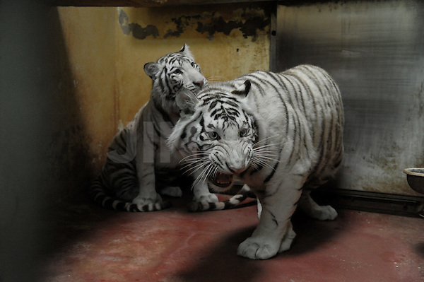 From Russia with love: Two beautiful white tigers are seen in their temporary cage in the Educational Zoo in Israel's northern city of Haifa, Tuesday, April 14th 2009. The tigers, a brother and sister pair, arrived in Israel on Monday April the 13th, and are a gift from the Moscow Zoo in Russia to Haifa's Educational Zoo. According to the Director of Moscow's Zoo, Dr Vladimir V. Spitsin, it is the policy of the zoo to separate cubs from their parents. Reportedly, the original gift was to consist of only one white tiger cub, until Russia's Prime Minister, Vladimir Putin, intervened on Israel's behalf, and arranged for Israel to be presented with two such tigers. Photo By: Moran Mayan / JINI