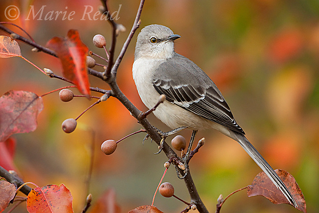 Northern Mockingbird (Mimus polyglottos) in Bradford Pear tree in autumn, Ithaca, New York, USA