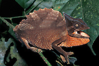 Mountain Chameleon<br />