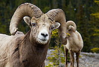 Bighorn Sheep, Icefields Highway, Alberta, Canada