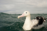 Gibson's Albatross (Diomedea antipodensis gibsoni) on water, Kaikoura, South Island, New Zealand