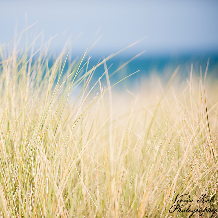 Marram grass on the sand dunes, Isle of Man.